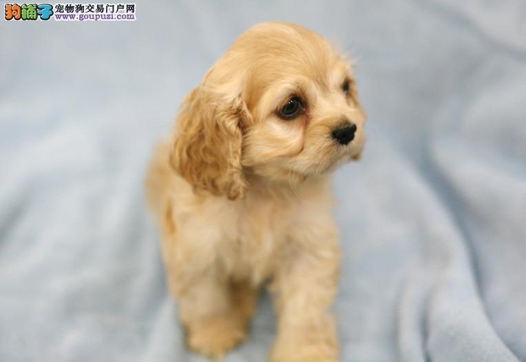 特价出售纯种可卡幼犬宝宝 可上门看货