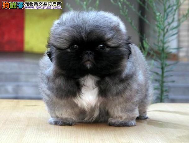 纯种赛级血统京巴幼犬出售俄罗斯冠军犬后代