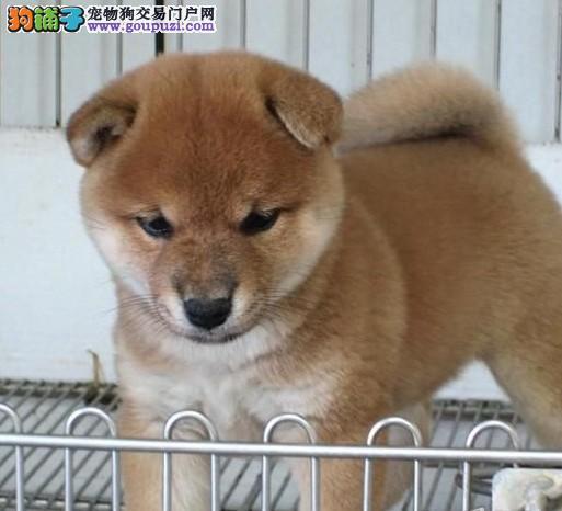 自家繁殖的纯种柴犬找主人赛级品质血统保障