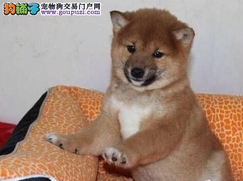 高端柴犬热销 可看狗狗父母照片 可送货上门