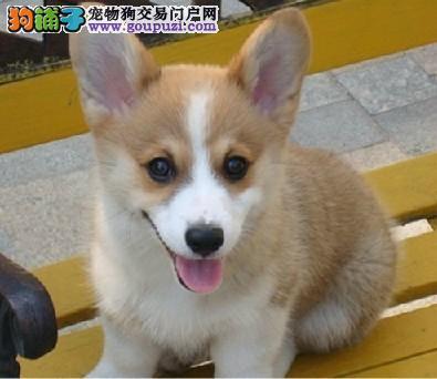 专业繁殖顶级纯种三色柯基犬质保三年北京市内可送货