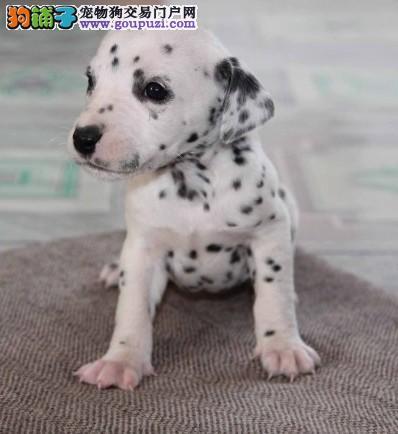 出售纯种斑点狗血统纯证;保证健康、品相一流
