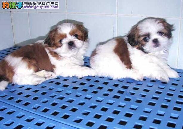 极品西施幼犬 专业繁育西施 可签协议 西施犬舍
