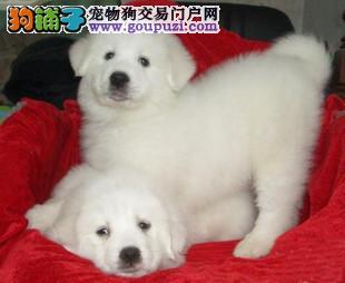 重庆出售纯种大白熊犬 精品大白熊 保纯健康疫苗