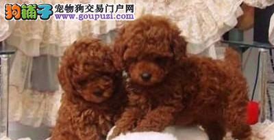 南京哪有两三个月茶杯犬卖 一只普通茶杯犬多少钱