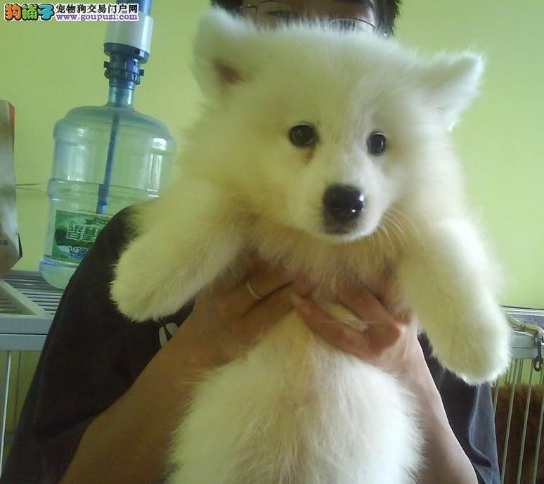 颜色全品相佳的银狐犬纯种宝宝热卖中实物拍摄直接视频