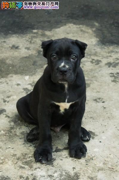 重庆哪里买狗狗好,重庆卡斯罗狗场幼犬照片价格