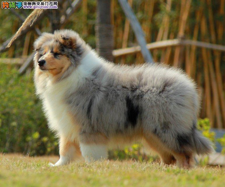 双赛级血统苏格兰牧羊犬幼犬出售 多只可选 全国包运