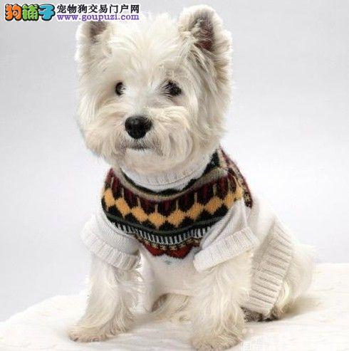 出售西高地颜色齐全公母都有微信咨询看狗狗视频