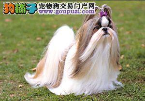 高品质西施犬幼犬 真实照片保纯保质 可送货上门