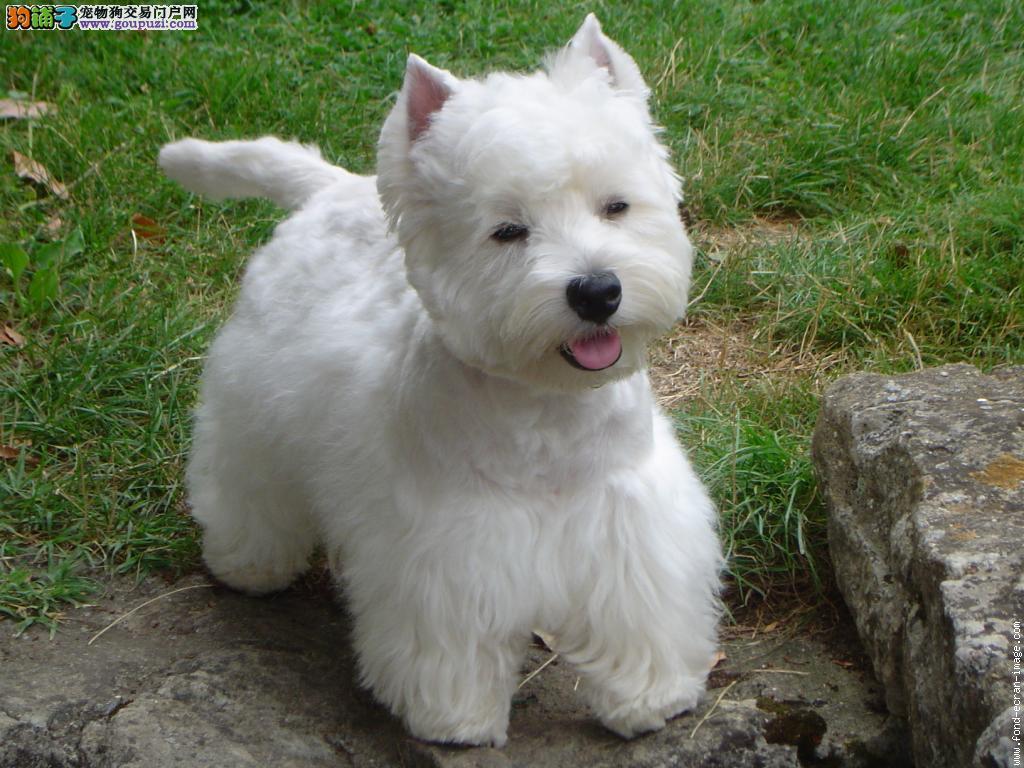 CKU认证犬舍 专业出售极品 西高地幼犬全国送货上门