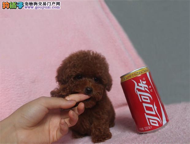 北京人繁殖超小体茶杯犬 成年肩高不超过18厘米