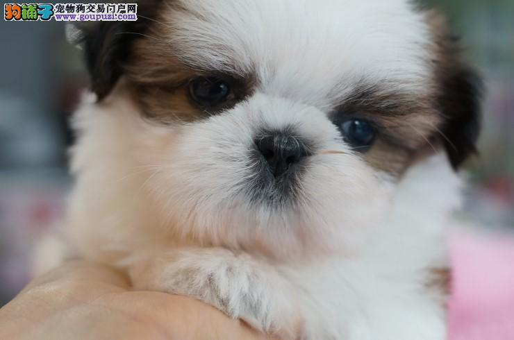 北京人繁殖纯种西施犬保纯保健康质量三包