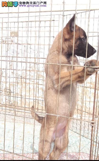 北京人繁殖纯种比利时牧羊犬最贴心的售后