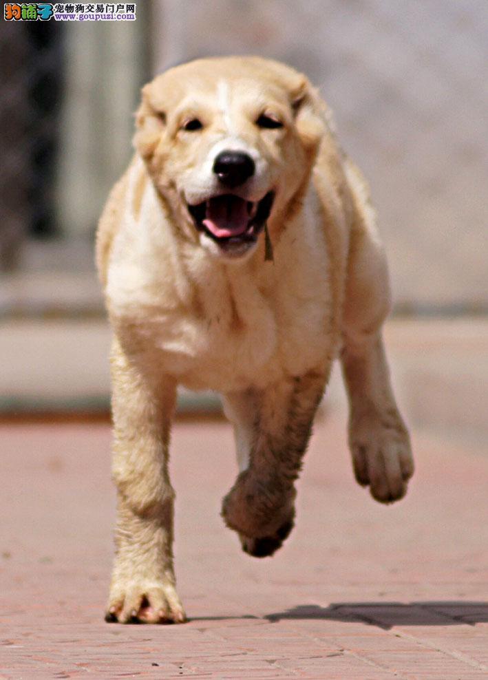 中亚牧羊犬 不以价格惊天下 但以品质惊世人微信看狗可见父母