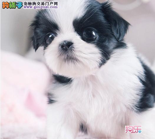 精品西施宝宝出售中异常甜美来犬舍可看到父母