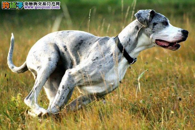 纯种大丹犬 保纯保健康 完美售后 可签协议