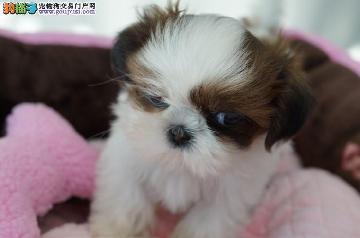 精品纯种长沙西施犬出售质量三包可直接微信视频挑选