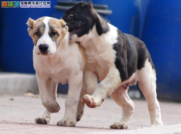 中亚牧羊犬西城CKU认证犬舍自繁自销多种血统供选购