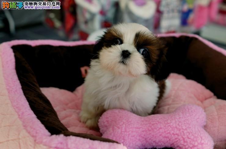 专业繁殖纯种西施犬疫苗齐全微信咨询看狗狗照片