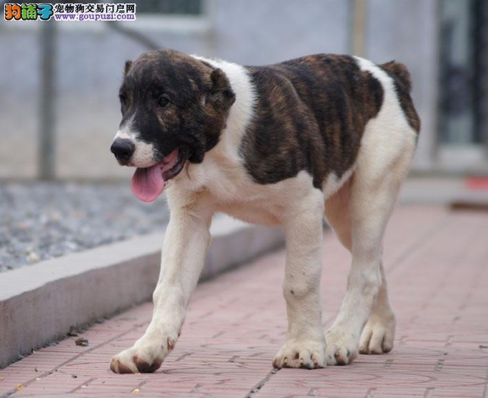 家养中亚牧羊犬出售 金牌店铺品质保障 当天付款包邮