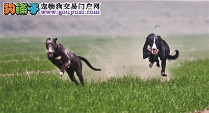 武汉大型犬舍低价热卖极品格力犬签订合法售后协议