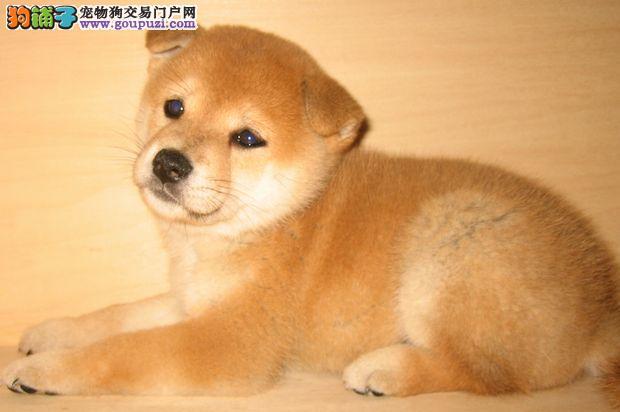 精品柴犬出售中质保终身免费饲养指导