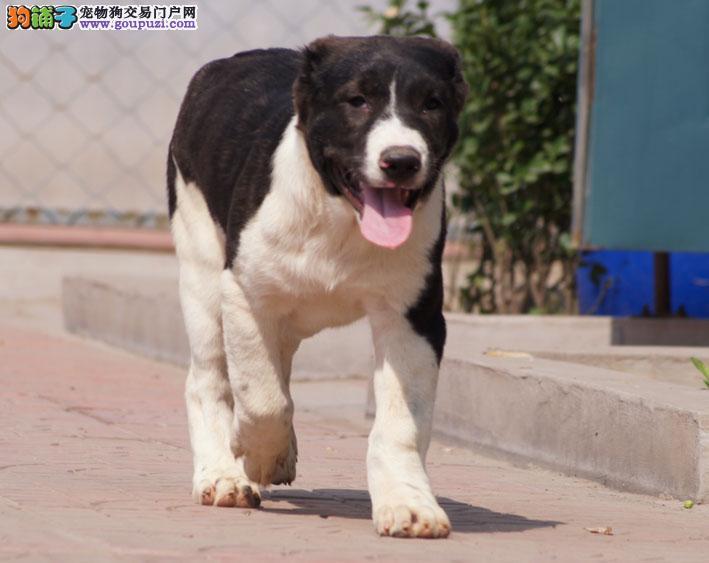 中亚牧羊犬兰州最大的正规犬舍完美售后上门可见父母