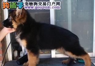 太原出售狼狗幼犬品质好有保障微信看狗真实照片包纯