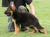 狼狗最大的正规犬舍完美售后品质一流三包终身协议