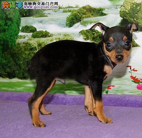 上海哪里可以买到纯种的小鹿犬 纯种小鹿犬价格
