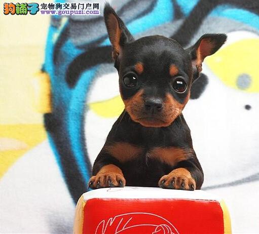 高端小鹿犬幼犬,精心繁育品质优良,寻找它的主人