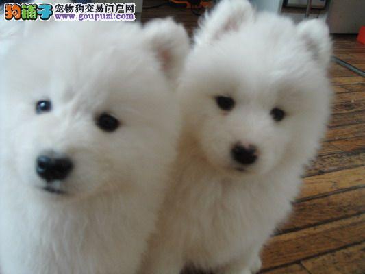 专业繁殖基地售日系顶级银狐犬三针齐公母全