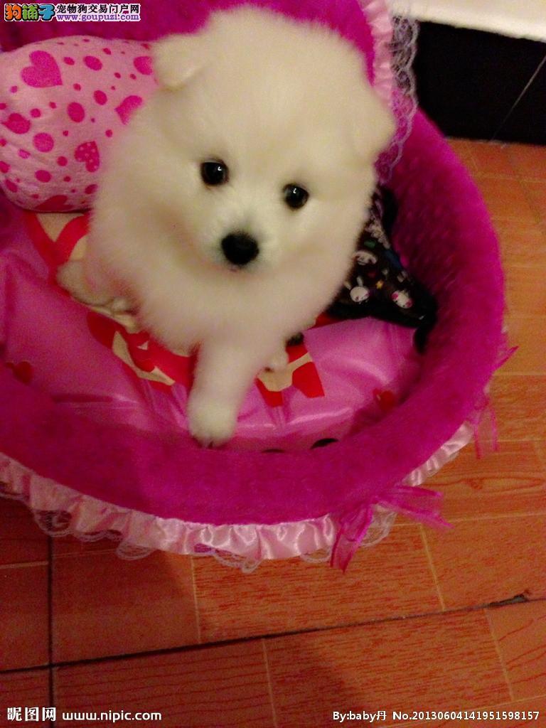 聪明稳重,感觉敏锐的狗狗 经典白色银狐幼犬健康信誉