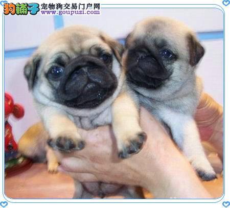 重庆哪里可以买到八哥犬 纯种八哥犬价格