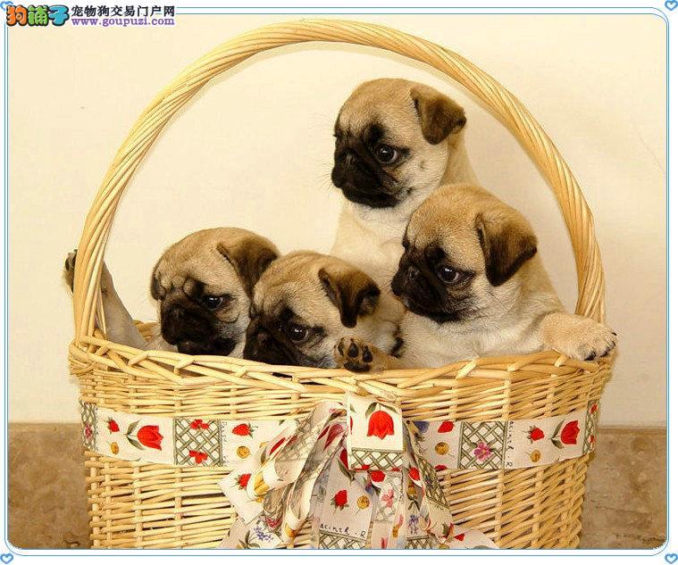 成都哪里有狗场卖巴哥犬的哪里买狗最便宜价格最实惠