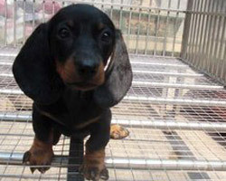 广东专业名犬养殖场提供各大中小型犬类:腊肠狗