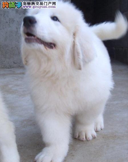 上海专业繁殖纯种大白熊,买狗狗送大礼包