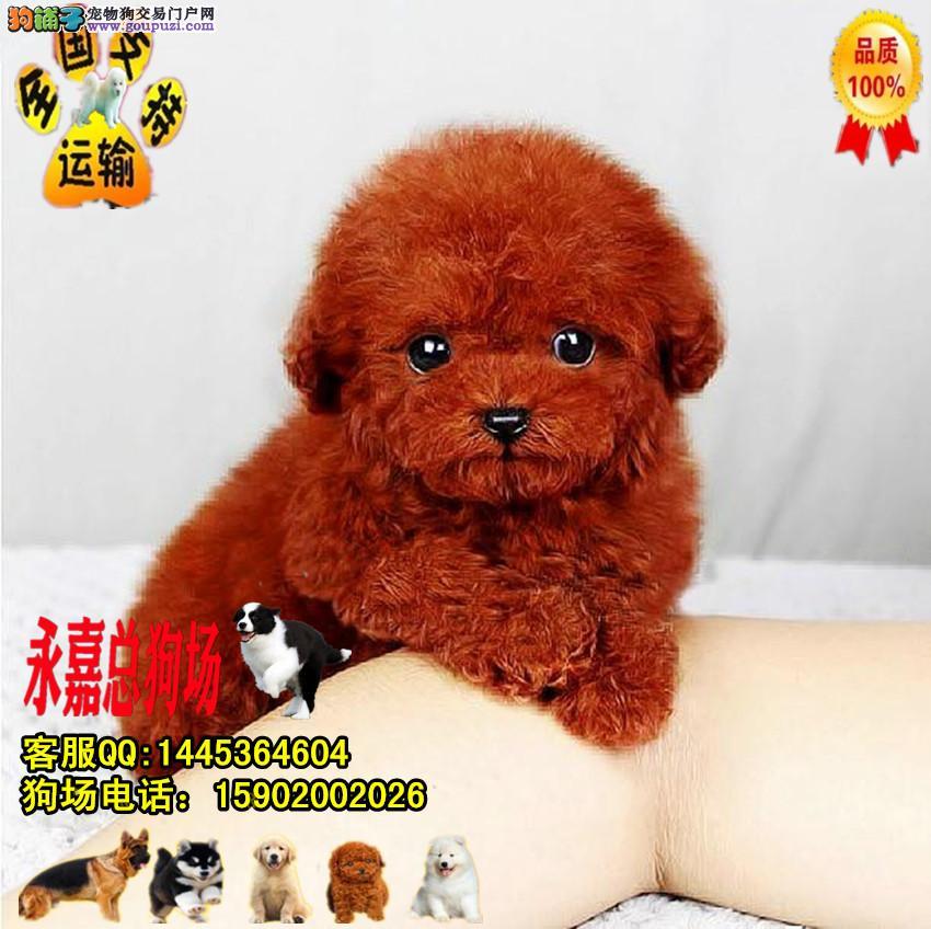 买纯种韩系泰迪狗狗 茶杯玩具 可爱至极 质保签协议