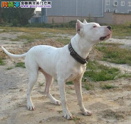 赛级杜高犬幼犬、品质优良血统纯正、签订正规合同