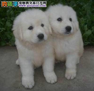 出售大白熊公母都有品质一流微信咨询视频看狗