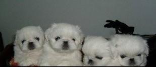 实体店铺出售京巴幼犬 很可爱可上门选购