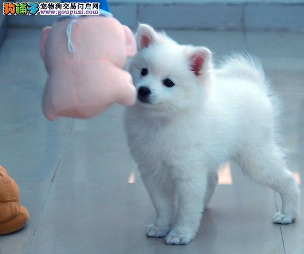 东莞哪里有卖纯种银狐犬出售 金威犬舍
