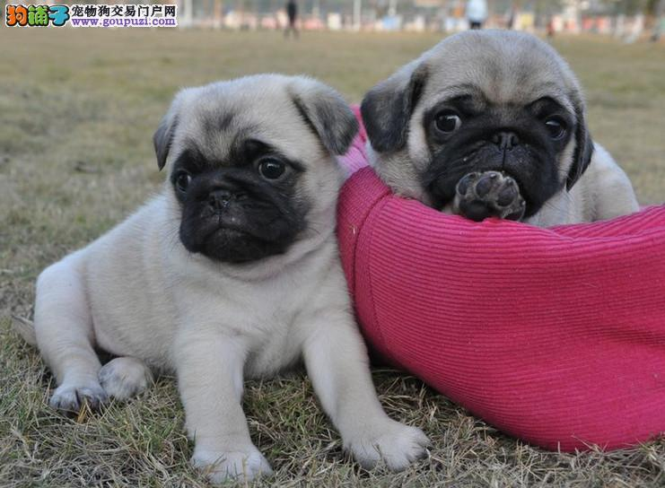 纯种巴哥犬幼犬、完美品相 品质第一、微信咨询看狗