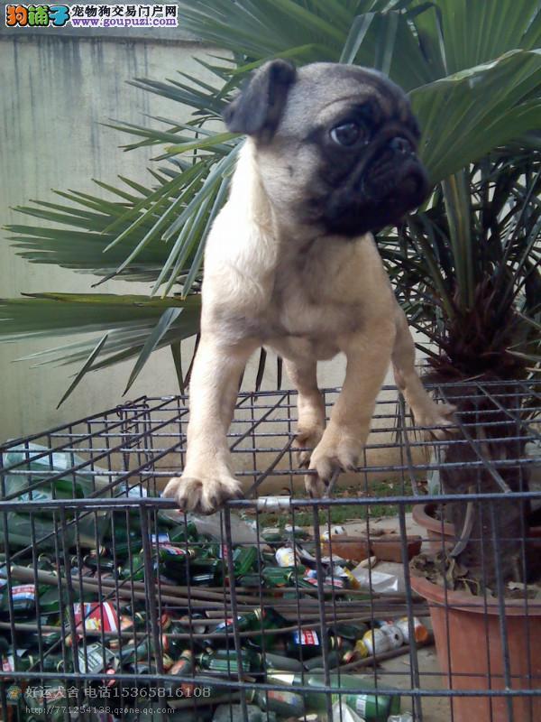 巴哥幼犬 公母全有 疫苗驱虫已做好 欢迎上门来挑选