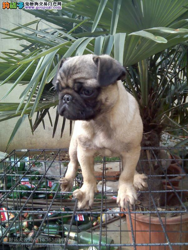 出售正宗血统优秀的宁波巴哥犬宁波周边免费送货