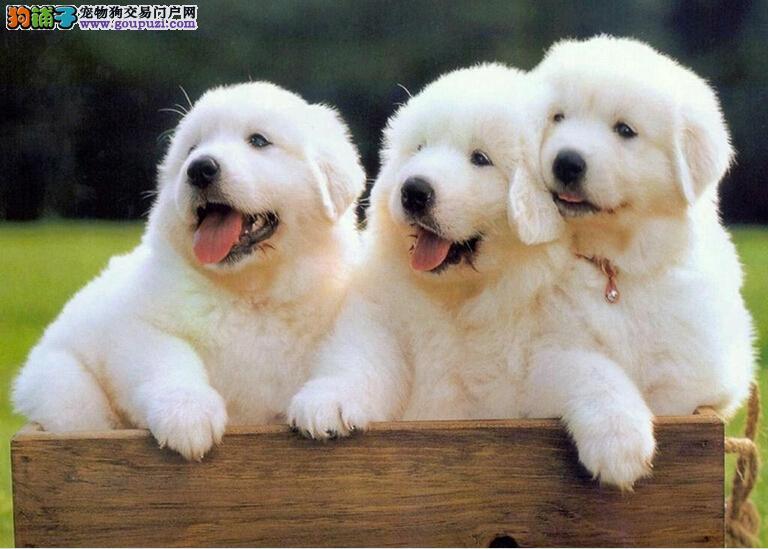 大白熊武汉最大的正规犬舍完美售后终身售后送货