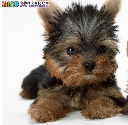 纯种可爱约克夏公犬出售