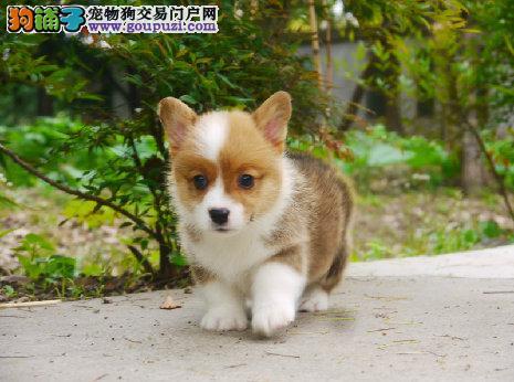 南京市柯基犬多少钱一只