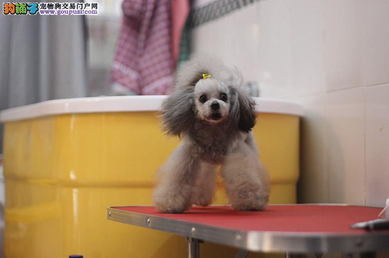纯种泰迪犬 玩具 茶杯泰迪犬 品质保证